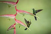 Green-crowned brilliant (Heliodoxa jacula), male and female on heliconia flower, Costa Rica, July