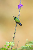 Steely-vented hummingbird (Amazilia saucerrottei), perched on verbena plant, Costa Rica, July