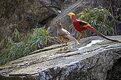 Golden pheasant or Chinese pheasant (Chrysolophus pictus), couple, Qinling Mountains, Shaanxi province, China