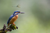 Dragonfly in flight over a Common Kingfisher (Alcedo atthis) on a branch, Alsace, France