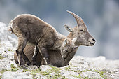 Alpine Ibex (Capra ibex) female and young cuddling, France