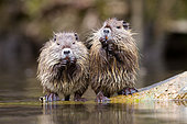 Coypus (Myocastor coypus), eating at the edge of water, France