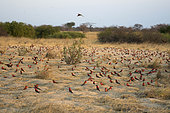 Carmine bee-eater (Merops nubicoides), sitting on the ground, breeding colony at the Sambezi river, Namibia