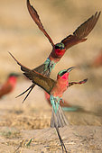 Carmine bee-eater (Merops nubicoides), in flight, fighting between neighbours, breeding colony at the Sambezi river, Namibia