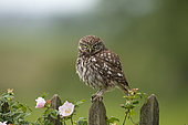 Little owl (Athene noctua) perched on fence, England