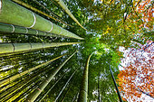 Bamboo 's path in Kyoto, Japan