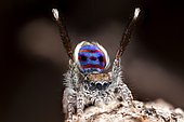 "A male Maratus speciosus ""peacock jumping spider"" performing mating courtship dance for a female spider."