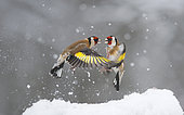 Fight between Goldfinches (Carduelis carduelis) for fallen seeds in the snow, Regional Natural Park of the Vosges du Nord, France