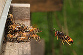 To try to defend the colony from this incessant predation, the bees fight back by forming a cluster on the flight board. They thus save a few foraging bees returning after gathering nectar and pollen from the flowers. France