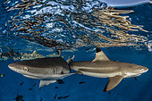 Gray reef Shark (Carcharhinus amblyrhynchos) and Blacktip reef Shark (Carcharhinus melanopterus) under the surface, French Polynesia