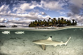 Blacktip reef shark (Carcharhinus melanopterus) young in lagoon, French Polynesia
