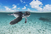 Very young Green sea turtle (Chelonia mydas) resting under the surface, French Polynesia