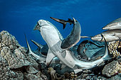 Gray reef sharks (Carcharhinus amblyrhynchos) eating a Parrot fish, French Polynesia