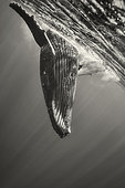 Humpback whale (Megaptera novaeangliae) playing under the surface, French Polynesia