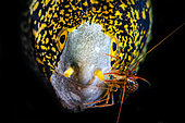 Cleaner shrimp on a Snowflake moray (Echidna nebulosa), Indian Ocean, La Reunion