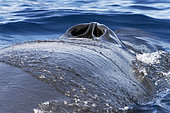 Bryde's whale (Balaenoptera brydei, edeni), Spiracles, nostrils, Tenerife, Canary Islands.