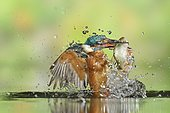 Common Kingfisher (Alcedo atthis) adult male, emerging from dive with a Roach (Rutilus rutilus) prey in beak, Lorraine, France