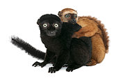 Male and female blue-eyed black lemurs, (Eulemurs flavifrons), 3 years old, sitting in front of white background Mulhouse Zoological and Botanical Park, France