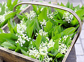 Lily of the Valley (Convallaria majalis) in a basket in spring, France