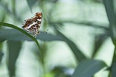 Map Butterfly (Araschnia levana) second generation on Aster leaves in a private garden of the bourbonnais bocage, Auvergne, France