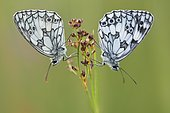 Marbled white (Melanargia galathea) couple in a wet area of the bourbonnais bocage in June, Auvergne, France