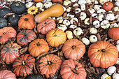 Butternut, 'Baby Boo' and Red kuri squashes, Germany