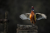 Pheasant (Phasianus colchicus) cocking up on log pile, France