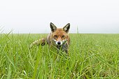 Red Fox (Vulpes vulpes) on a misty meadow in spring, Hesse, Germany