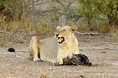 Lion (Panthera leo) lioness having caught a vulture near a carcass, Kruger NP, South Africa