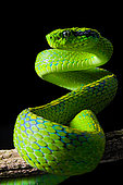 Yellow-blotched palm-pitviper (Bothriechis aurifer) on lblack background