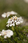 Candytuft (Iberis candolleana) at the top of a limestone mountain cliff in spring, Drôme, Rhône-Alpes, France