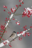 Marsh Tit (Poecile palustris) on a branch in winter, Ardennes