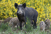 Wild boar (Sus scrofa) sow and piglets, Ardennes, Belgium