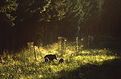 Wild boar (Sus scrofa) and young trees protected, Ardennes, Belgium