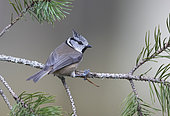 Crested tit (Lophophanes cristatus) perched on a pine tree branch, Scotland