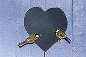 Great Tit (Parus major) perched in a heart shape hole in a blue door, England