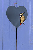 Great spotted woodpecker (Dendrocopos major) perched in a heart shape hole in a blue door, England