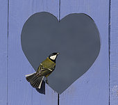 Great Tit (Parus major) perched in a heart shape hole, England