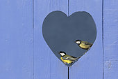 Great Tit (Parus major) perched in a hole in a shape of a heart in a blue door, England