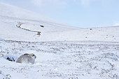 Mountain hare (Lepus timidus), laying in the snow, Cairngorm, Scotland