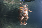 European beaver (Castor fiber) swimming on the surface, Dead Arm of the Rhone River, Savoie, France