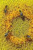 Wild bees pollinating sunflower flowers, Bugey, France