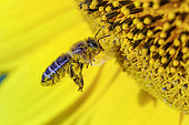 Wild bee pollinating sunflower flowers, Bugey, France