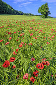 Wheat and poppies in bloom, Haute Savoie, France