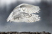 Canadian snowy owl (Bubo scandiacus) ponting during the take off, Quebec, Canada