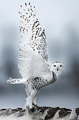 Canadian snowy owl (Bubo scandiacus) taking off, Quebec, Canada